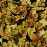 Purpurglöckchen Miracle - Heuchera villosa