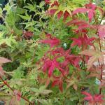 Japanischer Schlitzahorn Beni maiko 60-80cm - Acer palmatum