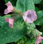 Lungenkraut Pink Dawn - Pulmonaria saccharata