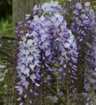 Niedriger Blauregen Okayama 60-80cm - Wisteria sinensis