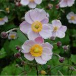 Herbstanemone Richard Ahrends - Anemone japonica