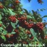 Runzlige Strauchmispel 80-100cm - Cotoneaster bullatus