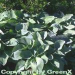 Grünblattfunkie Elegans - Hosta sieboldiana