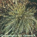 Segge Snowline - Carex conica