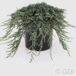 Blauer Kriechwacholder Ice Blue 15-20cm - Juniperus horizontalis