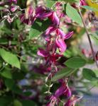 Buschklee 60-80cm - Lespedeza thunbergii