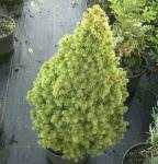 Zuckerhutfichte Rainbows End 30-40cm - Picea glauca