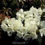 Hochstamm Rhododendron Marietta 60-80cm - Alpenrose