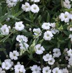 Teppich Schleierkraut Filou White - Gypsophila repens