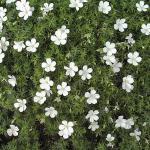 Waldstorchschnabel Album - Geranium sylvaticum