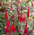 Fuchsie Thompson - Fuchsia magellanica