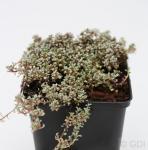 Schafteppich Silberkissen - Raoulia australis