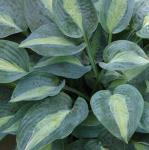 Funkie Kiwi Full Monty - Hosta cultorum
