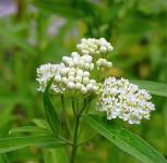Seidenpflanze Ice Ballet - Asclepias incarnata