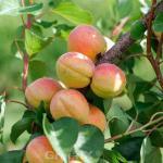 Aprikose Temporao de Villa Franca 60-80cm - Prunus armeniaca