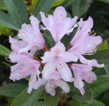INKARHO - Großblumige Rhododendron Septembercharm 30-40cm - Alpenrose