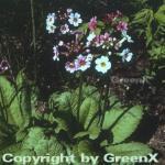 Etagenprimel Alba - Primula japonica