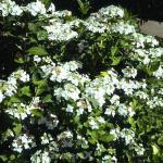 Bauernhortensie Lanarth White - Hydrangea macrophylla