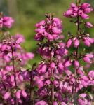 10x Grauheide Rosa Klon - Erica cinerea