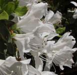 Japanische Azalee Pleasant White 50-60cm - Rhododendron obtusum - Zwerg Alpenrose