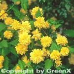 Ranunkelstrauch 30-40cm - Kerria japonica