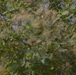 Perückenstrauch Smokey Joe 60-80cm - Cotinus coggygria