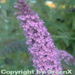 Sommerflieder Empire Blue 40-60cm - Buddleja