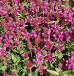 Großblütige Braunelle Rubra - Prunella grandiflora