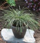 Faden Lebensbaum Whipcord 25-30cm - Thuja plicata