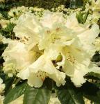 Großblumige Rhododendron Bellini® 25-30cm - Alpenrose