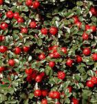 Frühe Felsenmispel 60-80cm - Cotoneaster praecox