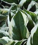 Funkie Patriot - Hosta Hybrid