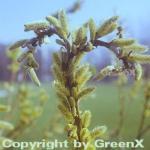 Japanische Drachenweide 60-80cm - Salix sachalinensis