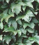Jungfernrebe Green Sping 100-125cm - Parthenocissus tricuspidata