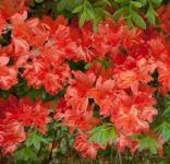 Azalee Lady Roseberry 30-40cm - Rhododendron luteum Lady - Alpenrose