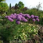 Zierlauch Early Emperor - Allium cultorum