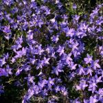 Glockenblume Templiner Teppich - Campanula poscharskyana