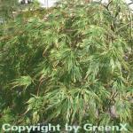Grüner Schlitz Ahorn 100-125cm - Acer palmatum