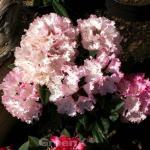 Rhododendron Rauhreif 40-50cm - Alpenrose