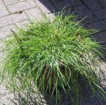 Weißes Straußgras Green Twist - Agrostis stolonifera