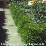 10x Buchsbaum Suffruticosa 10-15cm - Buxus sempervirens