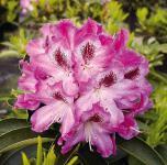 Großblumige Rhododendron Helen Martin 40-50cm - Alpenrose