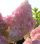 Rispenhortensie Sunday Fraise 30-40cm - Hydrangea paniculata