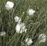 Federnelke Albus Plenus - Dianthus plumarius