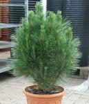 Säulen Schwarzkiefer Kleiner Turm 25-30cm - Pinus nigra