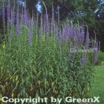 Hoher Wiesenehrenpreis - Veronica longifolia
