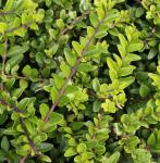 10x Heckenmyrte Maigrün 10-15cm - Lonicera nitida