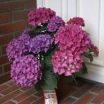 Bauernhortensie Hobergine® 30-40cm - Hydrangea macrophylla