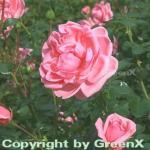 Floribundarose Home & Garden 30-60cm