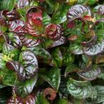 Traubenheide Traubenmyrte Curly Red® 30-40cm - Leucothoe axillaris